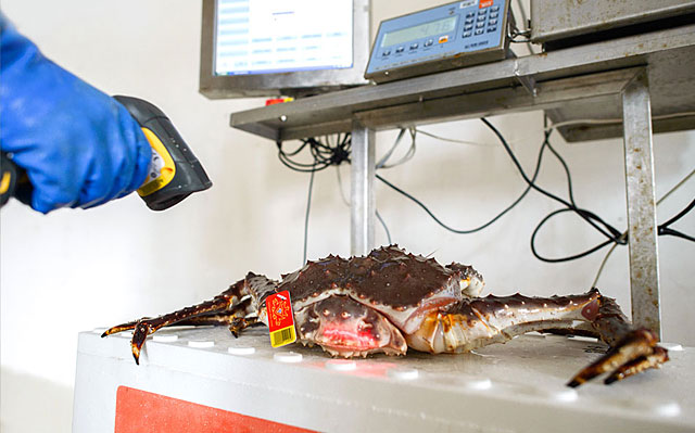 Norway King Crab - ID registration with tag